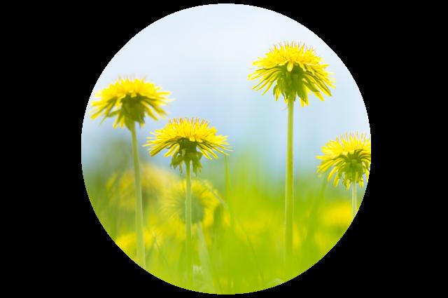 Dandelion For Liver & Skin