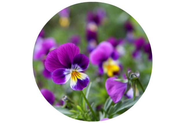Wild Pansy For Botanical Shielding