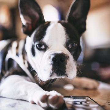 Frenchie Case, French Bulldog