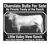 Charolais Bulls For Sale