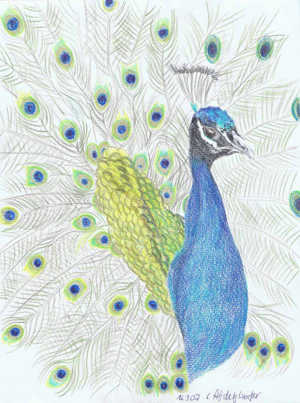 Proud Peacock-drawing Showflipper