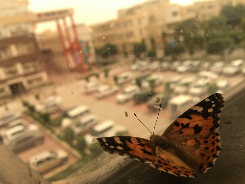 Butterfly-photography Showflipper