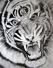 Drawing Of Tiger Sketch
