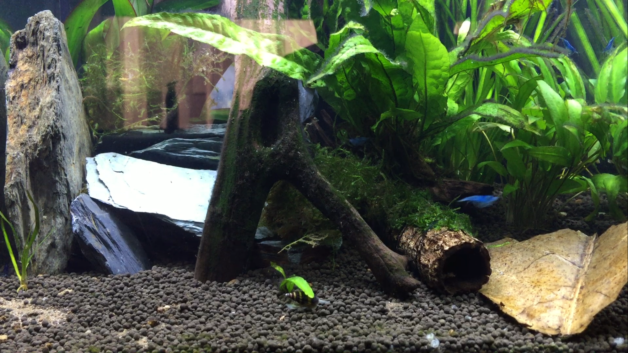Can I mix these two neocaridina breeds? - Genetics and