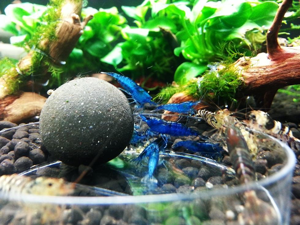 FS- BLUE DREAM SHRIMP - The Marketplace - The Shrimp Spot