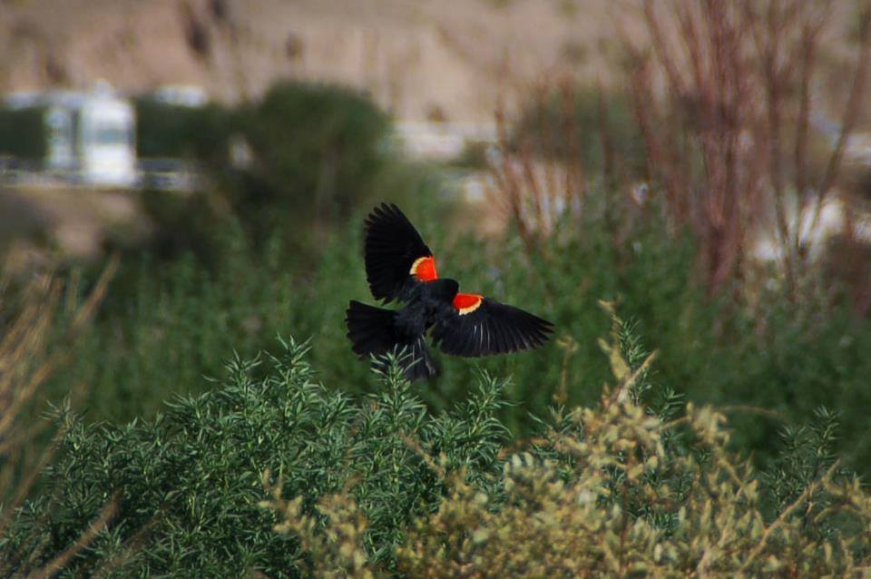 black bird with red wings flying near the Rio Grande in Truth or Consequences