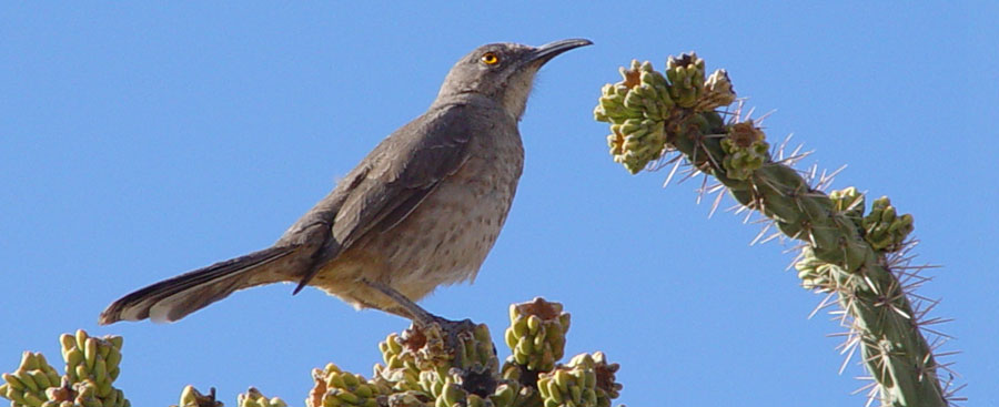 bird sitting on cholla cactus in southern New Mexico