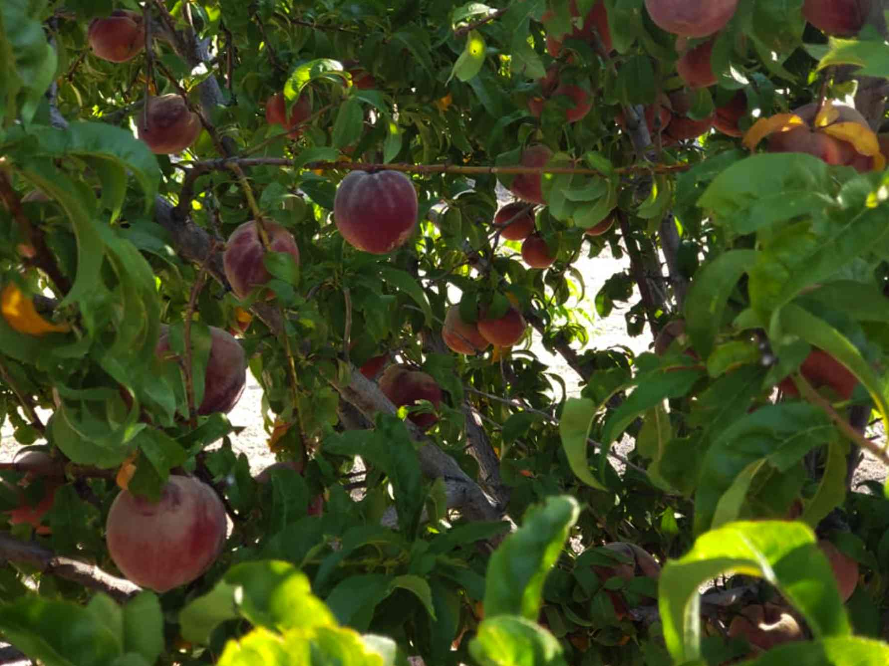 peaches on the tree at Valhalla Orchards