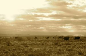 Engle bison