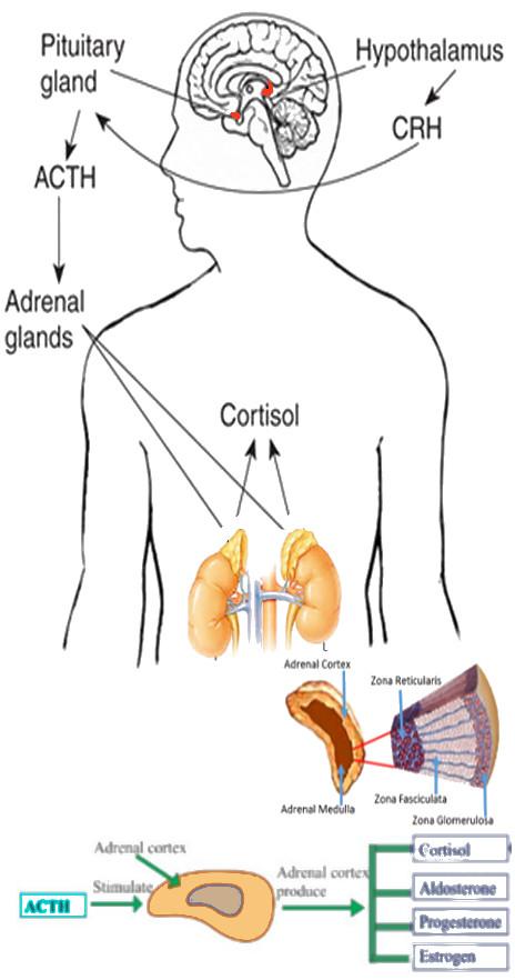 adrenal.jpg