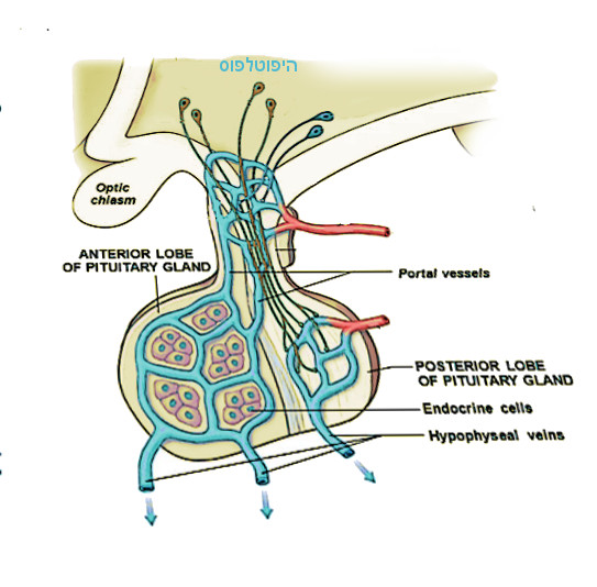 hypophysis.jpg