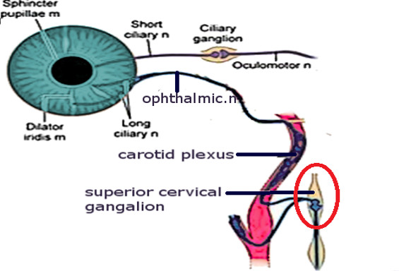 Ophthalmicganglion.jpg