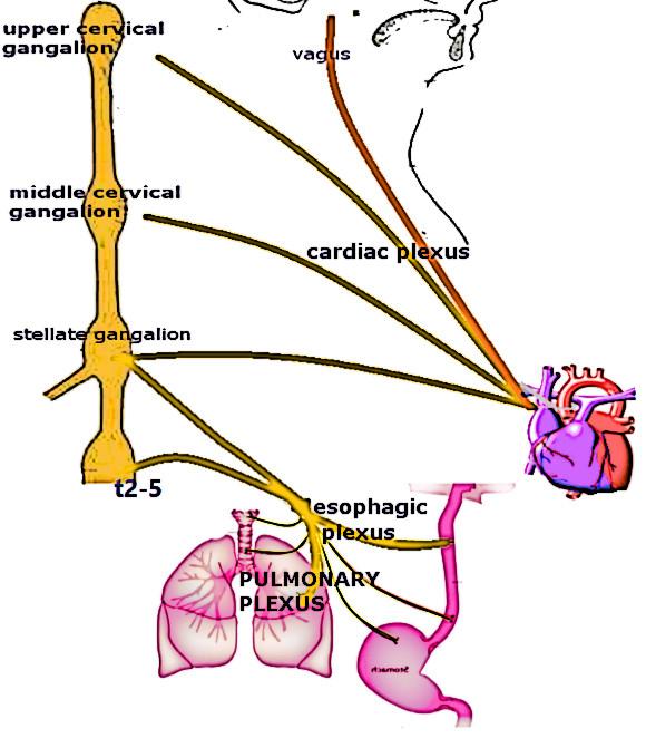 cardiac plexus.jpg