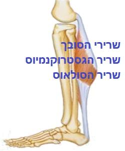 מפרק הקרסול- שרירים מכופפים.jpg