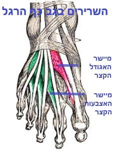 שרירים בגב כף הרגל.jpg