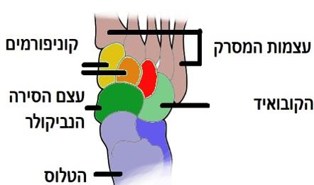 עצמות כף הרגל המרכזית