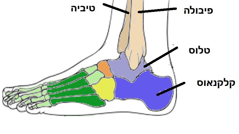 עצמות כף הרגל האחורית- הטיביה הפיבולה הטלוס והקלקנאוס