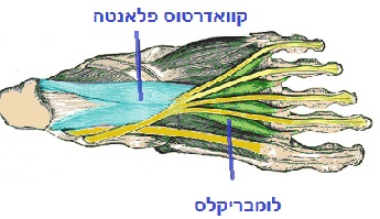 שרירי כף הרגל שכבה שלישית