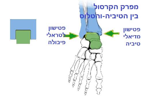 מבנה כף הרגל האחורית- מפרק הקרסול