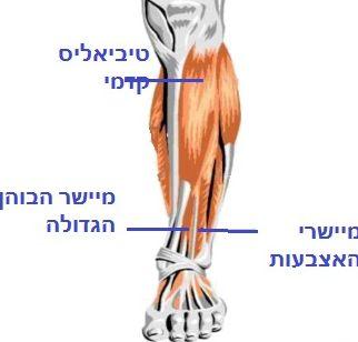 שרירים מיישרים של מפרק הקרסול