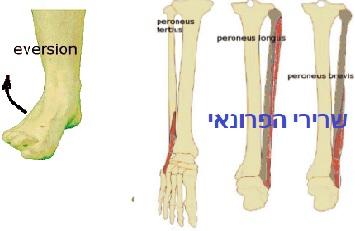 תנועת האוורזיון שרירי הפרונאוס