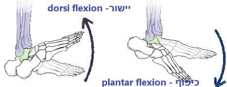 מבנה כף הרגל האחרוית- יישור מפרק הקרסול וכיפוף מפרק הקרסול