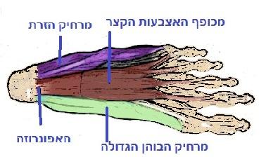 שרירי כף הרגל שכבה שיטחית