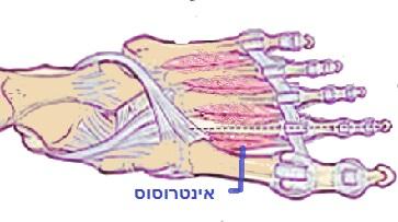 שרירי כף הרגל4.jpg