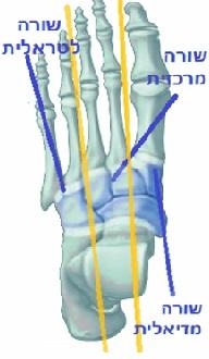 עצמות מרכז כף הרגל ליס פרנק