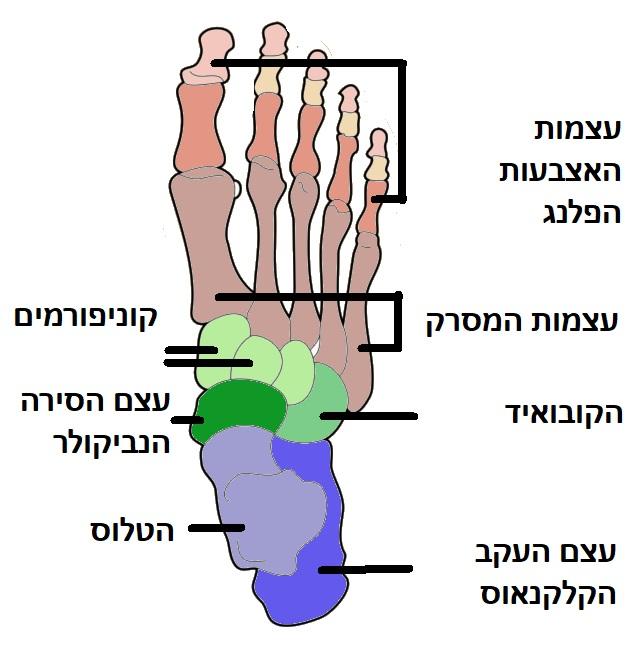 עצמות כף הרגל
