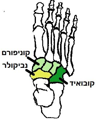 עצמות כף הרגל המרכזית, הקובואיד, הנביקולר, ועצמות הקוניפורם