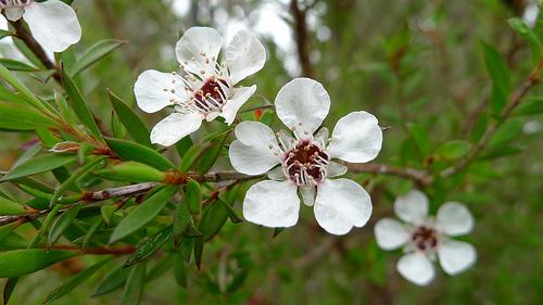 tea tree photo