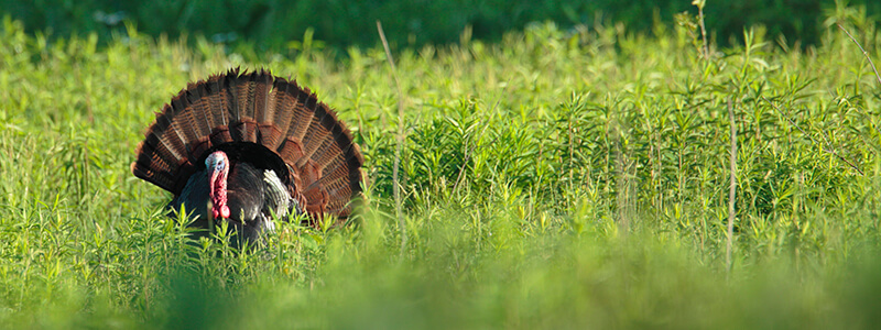 turkey-header