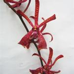 Fresh Cut Red James Storie Mokara Orchids