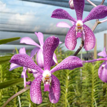 Speckled Violet Purple Aranda Orchids