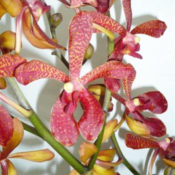 Maroon Leopard Aranda Orchids