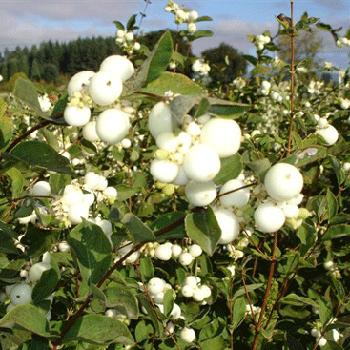White Snowberry Fresh Autumn Greens