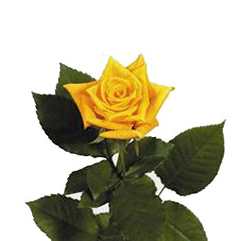 Golden Yellow Frisco Sweetheart Roses