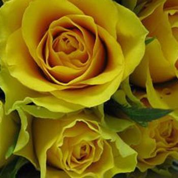 Viva Yellow Sweetheart Roses