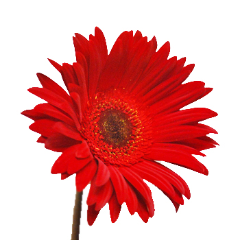 Red Airbrushed Gerber Daisy Flower