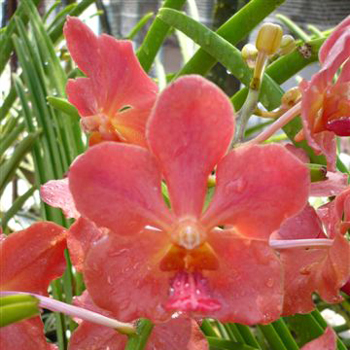 Vanda Orchids Coral Orange