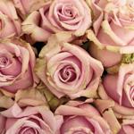 Lavender Rose Cool Water