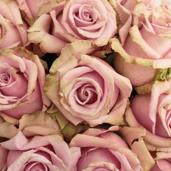Acapella Antique Lavender Mist Roses