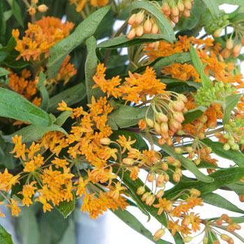 Asclepia Pumpkin Orange Flower