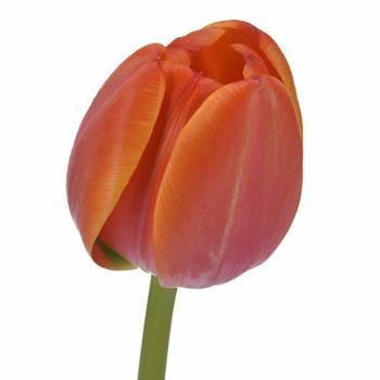 Bulk Orange Tulips