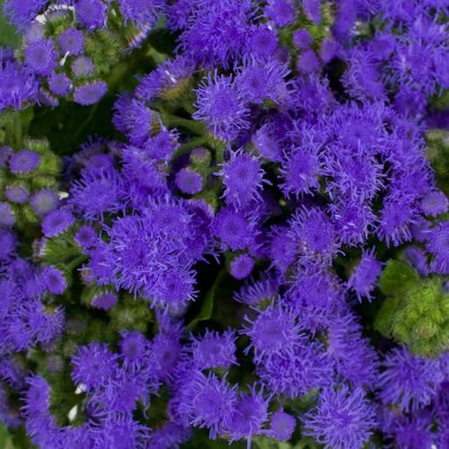 Passionate Purple Ageratum Flower