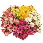 Mixed Color Peruvian Lily Flower