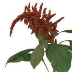 Bulk Greens Bronze Amaranthus Upright