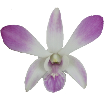 Amethyst Mist Loose Orchid Blooms