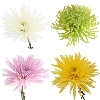 Anastasia Spider Assorted Color Flowers